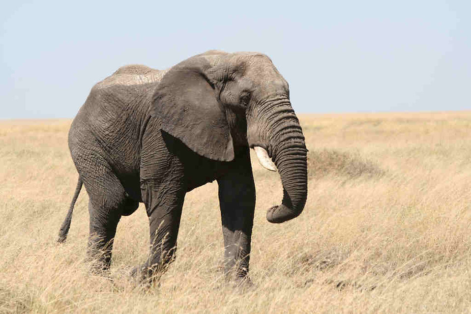 An elephant in the wild : Free Stock Photo
