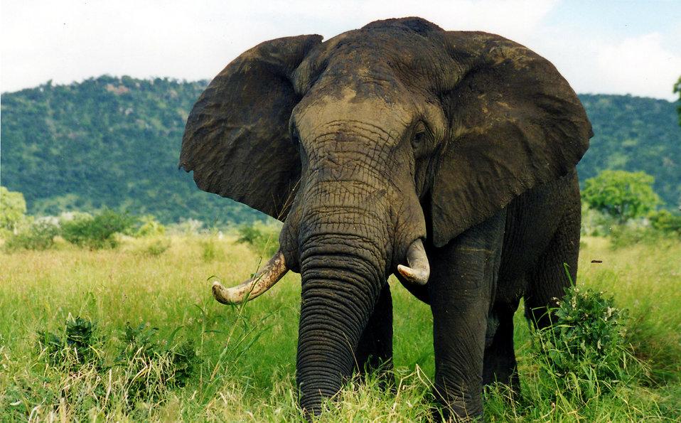 drones to save elephants   Elephant