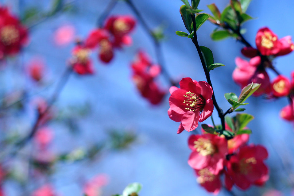 Red flowers on a tree branch : Free Stock Photo