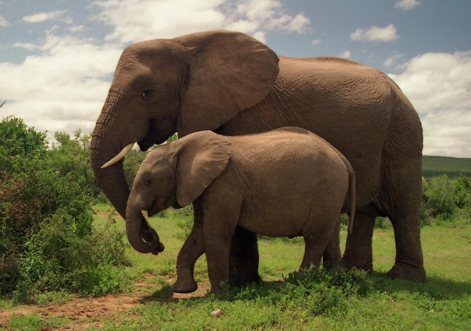 An elephant with a calf : Free Stock Photo