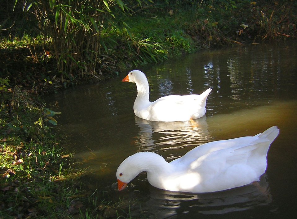 A pair of geese swimming on the water : Free Stock Photo
