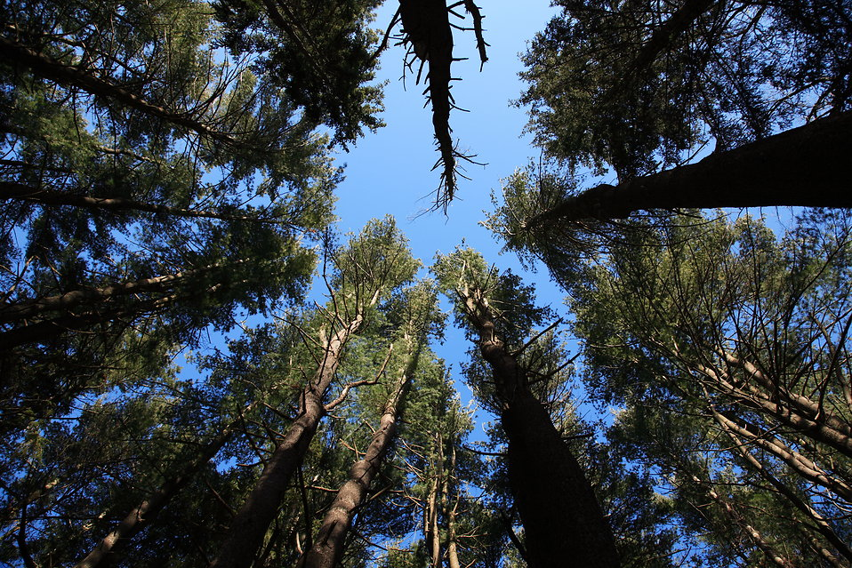 Soaring Conifers : Free Stock Photo