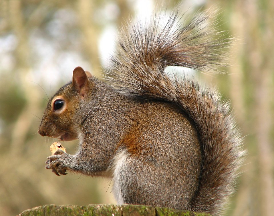 Close-up of a squirrel eating a nut : Free Stock Photo