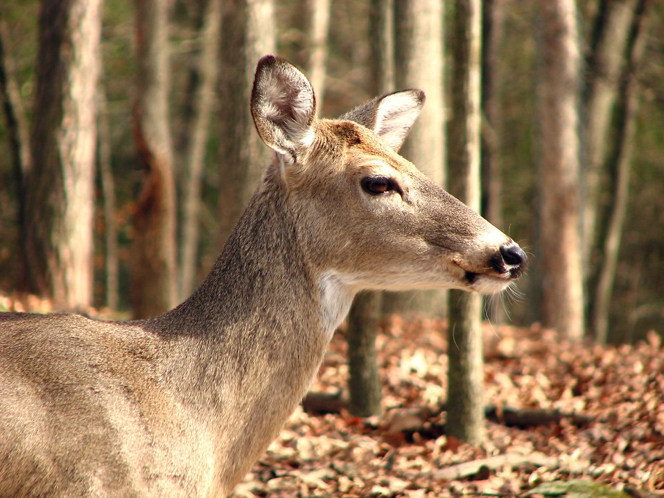 Close-up of a deer in the woods : Free Stock Photo