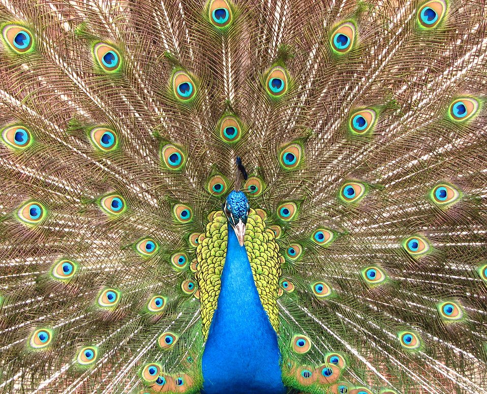 Close-up of a colorful peacock : Free Stock Photo
