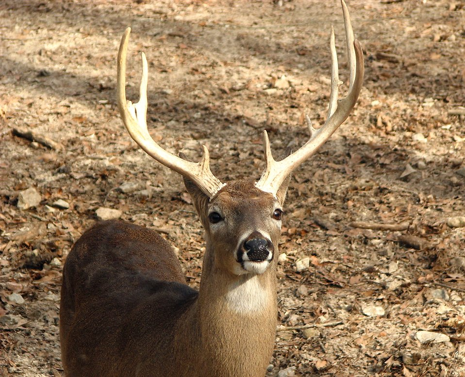 A buck in the woods : Free Stock Photo