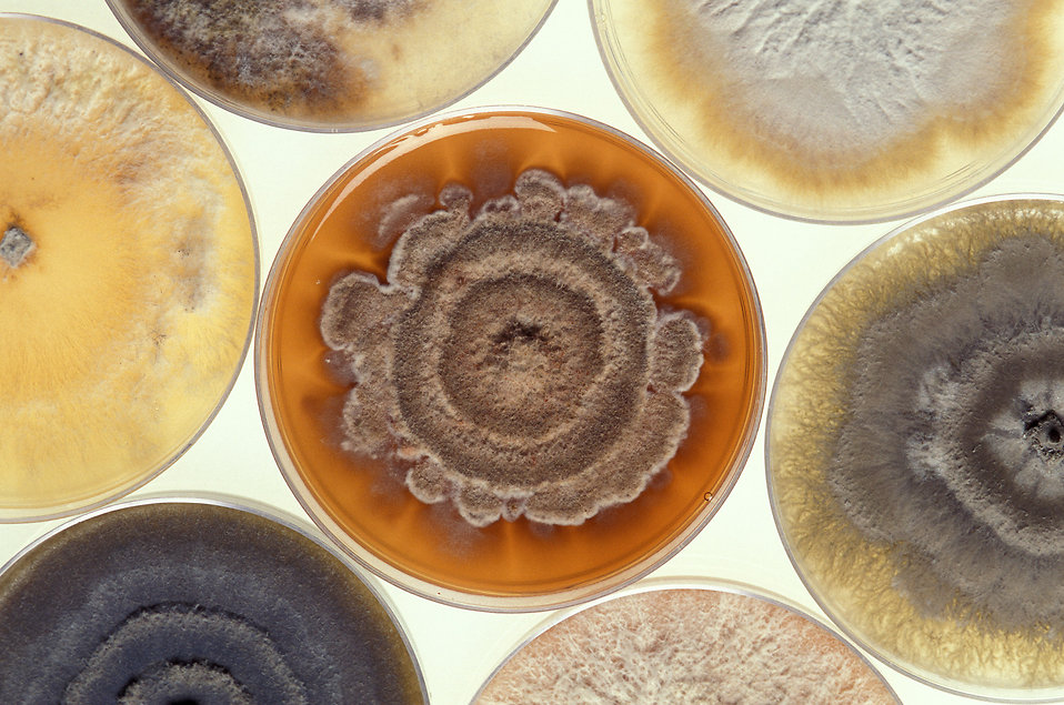 Phomopsis mold cultures in petri dishes : Free Stock Photo