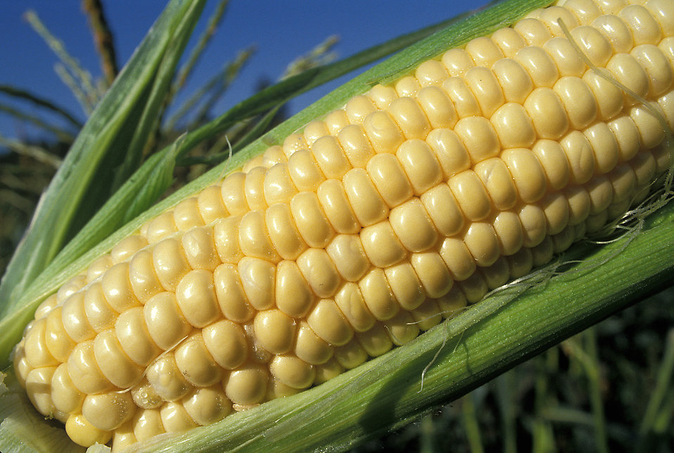 Close-up of an ear of corn in a field : Free Stock Photo