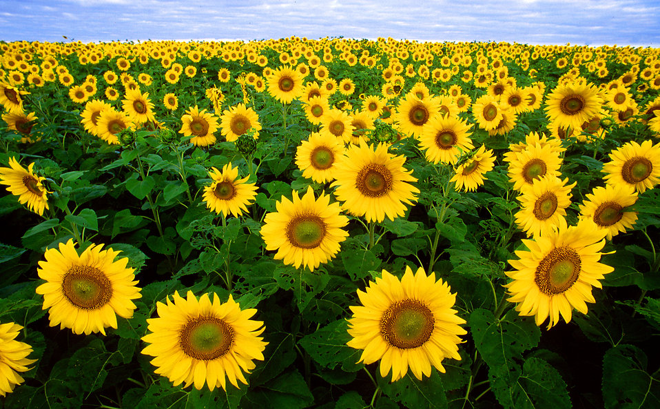 Sunflowers in a field : Free Stock Photo