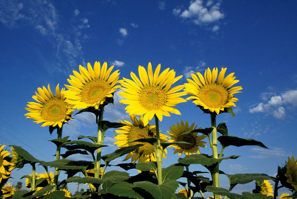 Yellow sunflowers in a field with a blue sky background : Free Stock Photo