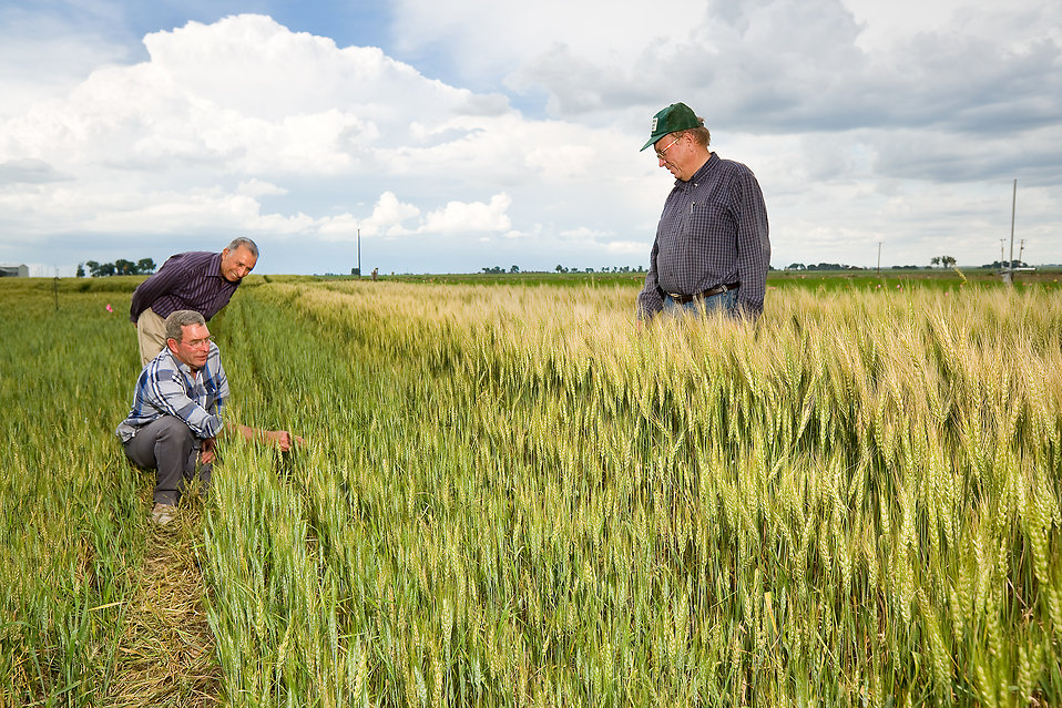 Agricultural engineers examining a wheat field : Free Stock Photo
