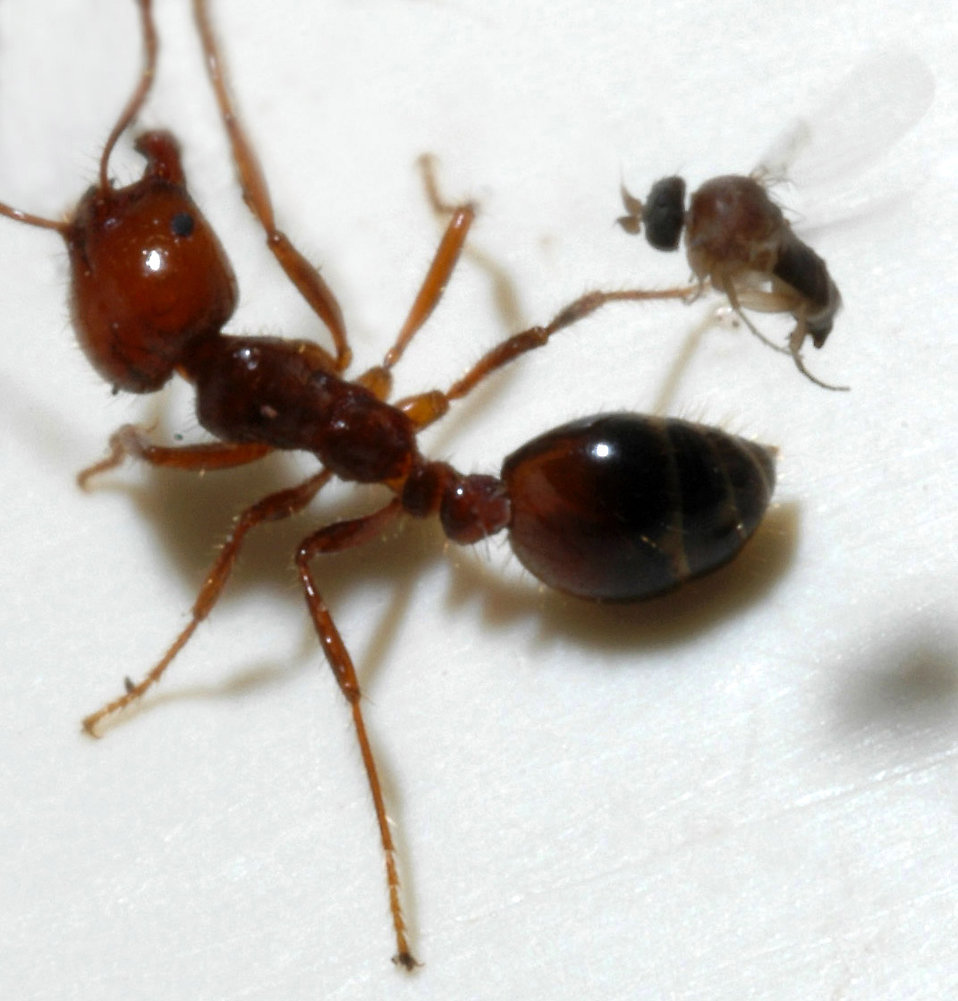 A parasitic phorid fly attempts to lay an egg into a fire ant worker.  If the fly injects microsporidian-infected eggs into the ant, or the ant kills and eats the fly, the fire ant will become infected and die.