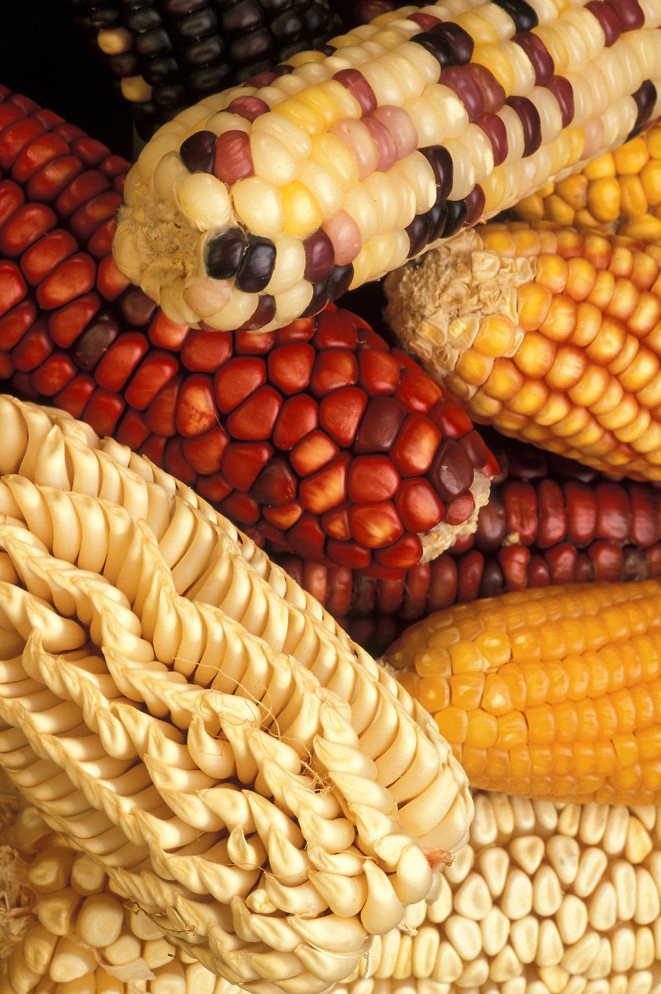 Close-up of various colored and shaped ears of corn : Free Stock Photo
