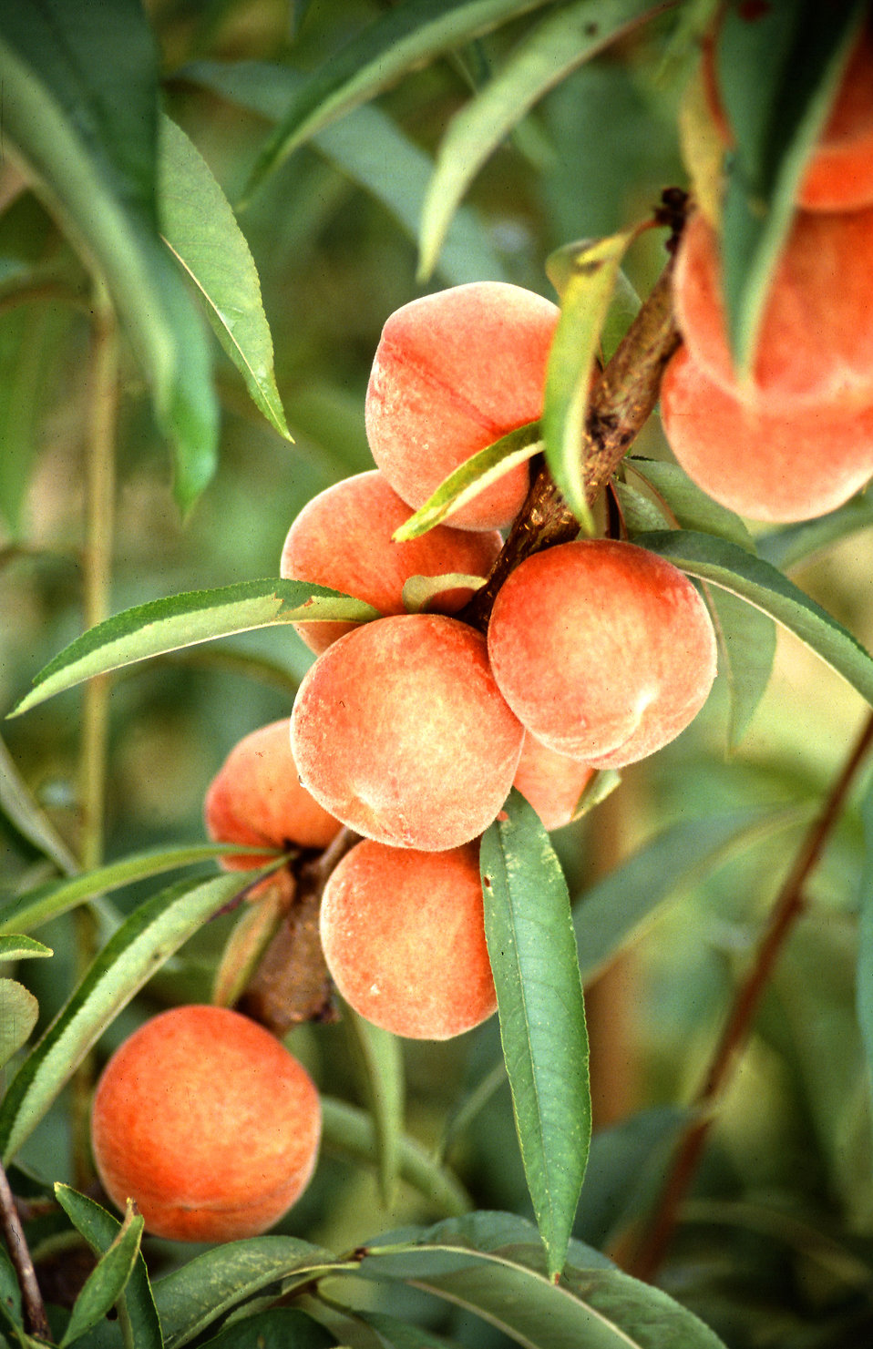 Flameprince peaches growing on a tree : Free Stock Photo