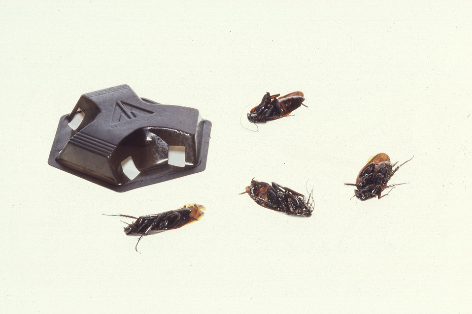 Dead cockroaches around a bait enclosure on a white background : Free Stock Photo