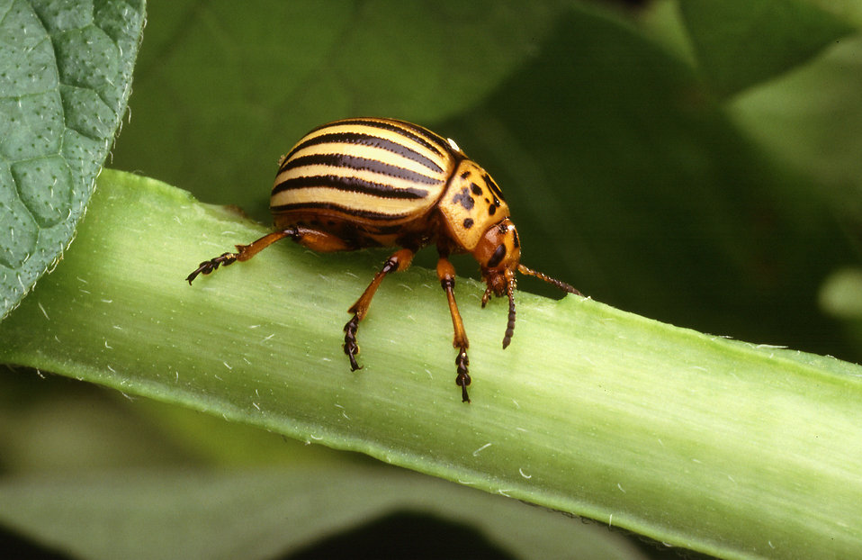 A Colorado potato beetle on a plant : Free Stock Photo