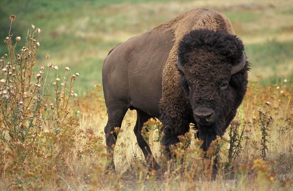 A buffalo standing in a field : Free Stock Photo