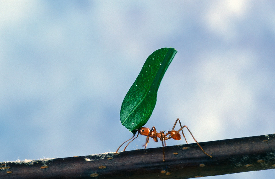 An ant carrying a leaf on a branch : Free Stock Photo