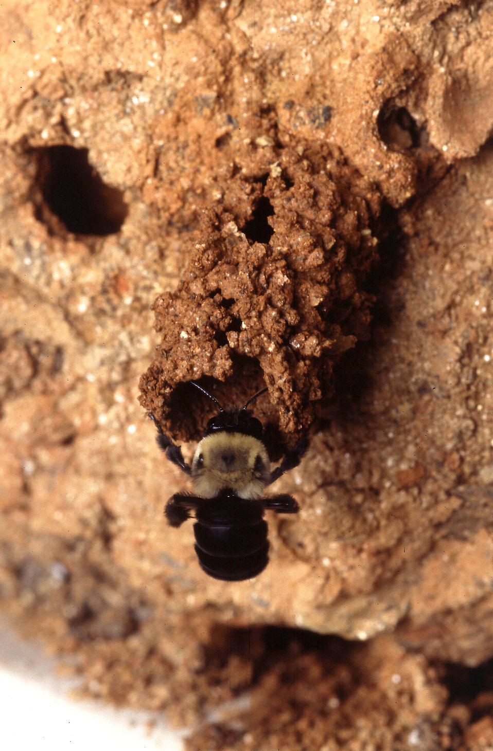 A mustached mud bee (Anthophora abrupta) : Free Stock Photo