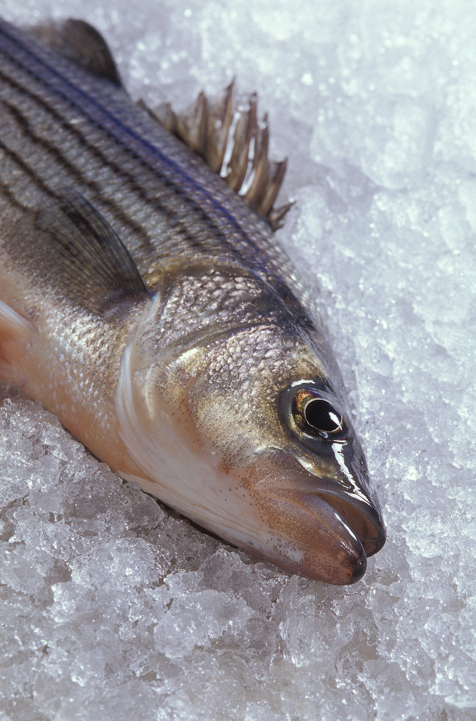 A hybrid striped bass on ice : Free Stock Photo