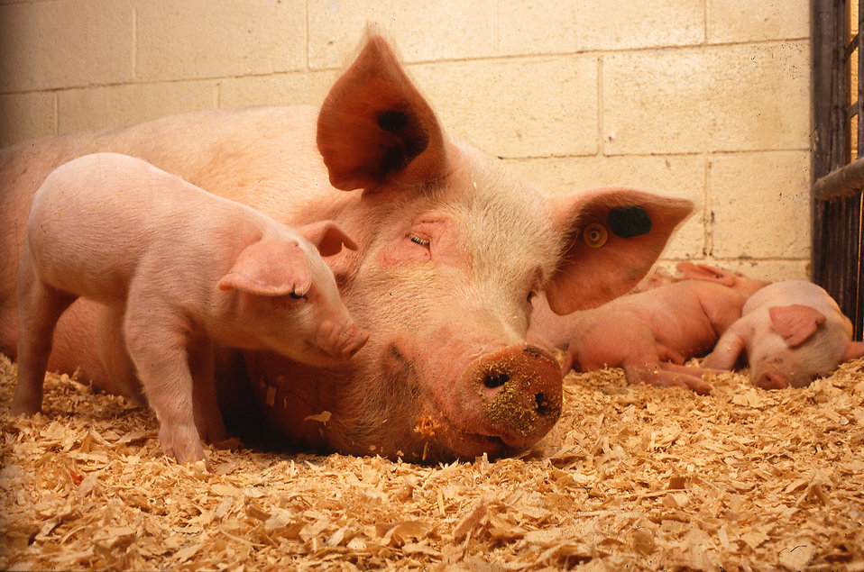 A pig and her piglets in a stall : Free Stock Photo