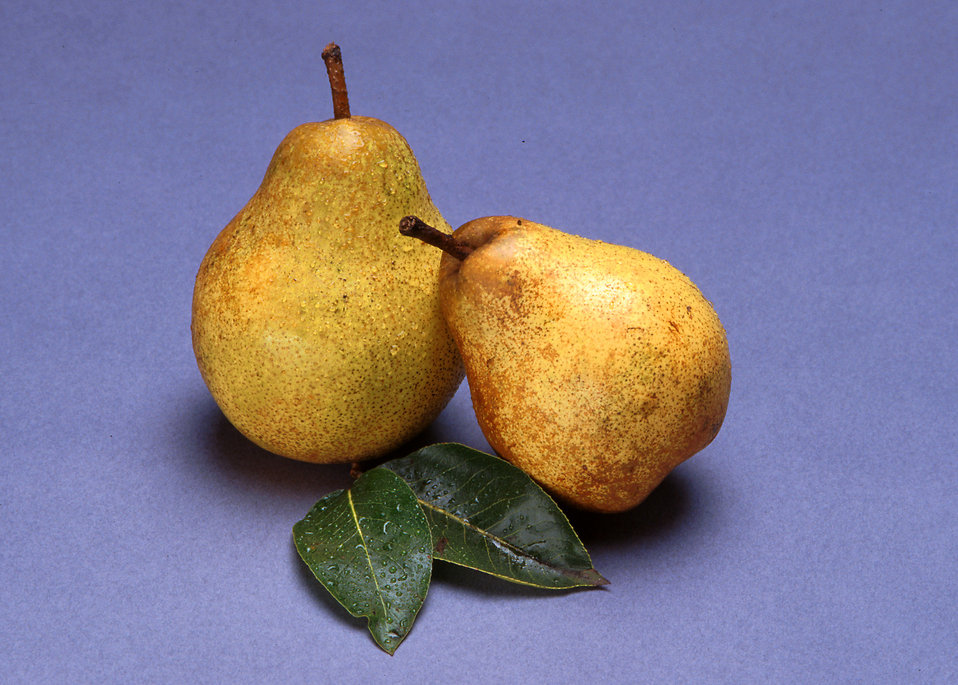 A pair of Blake's Pride pears isolated on a blue background : Free Stock Photo