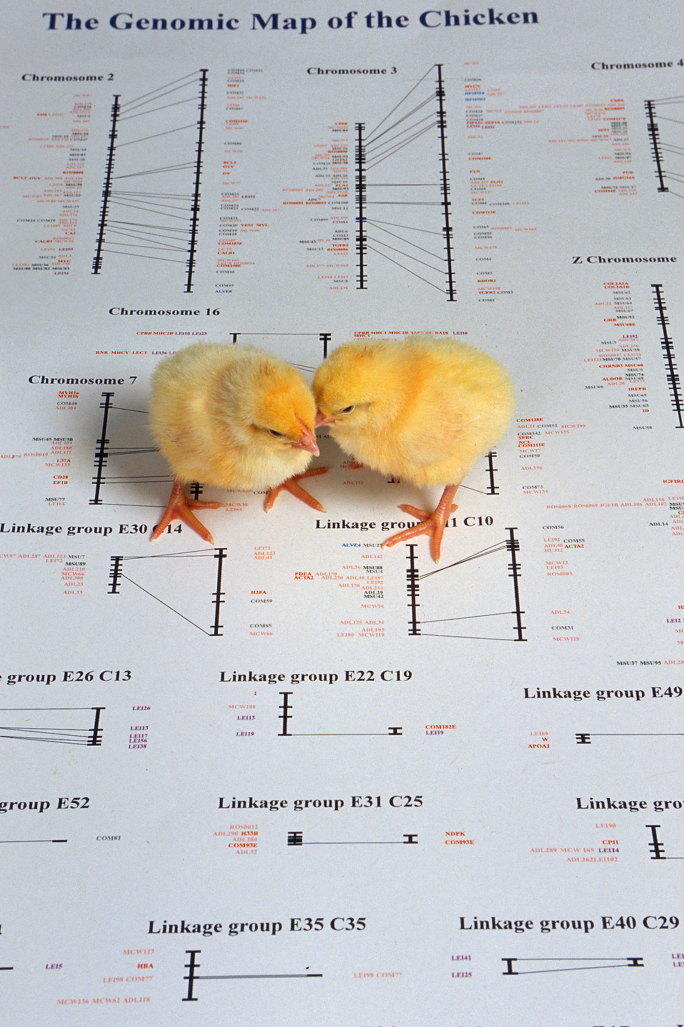 A pair of chicks atop a picture of a genetic map of a chicken : Free Stock Photo