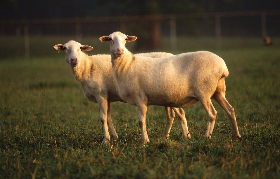 A pair of St. Croix hair sheep standing in a field : Free Stock Photo