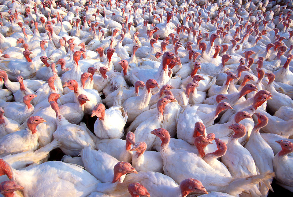 A large flock of turkeys : Free Stock Photo
