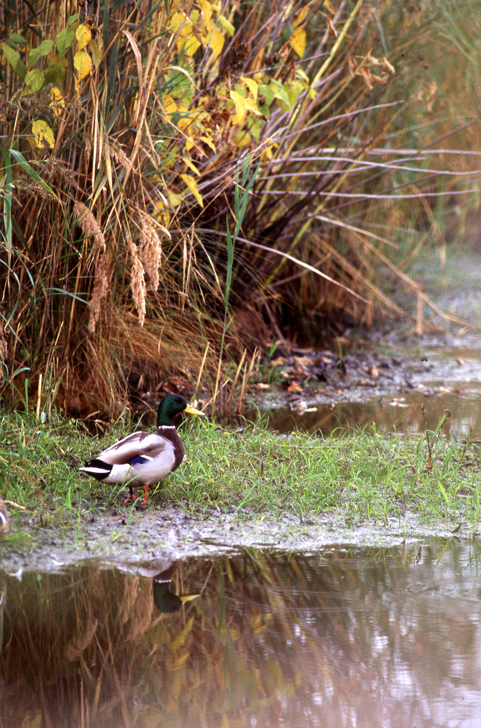 A duck standing by a pond : Free Stock Photo