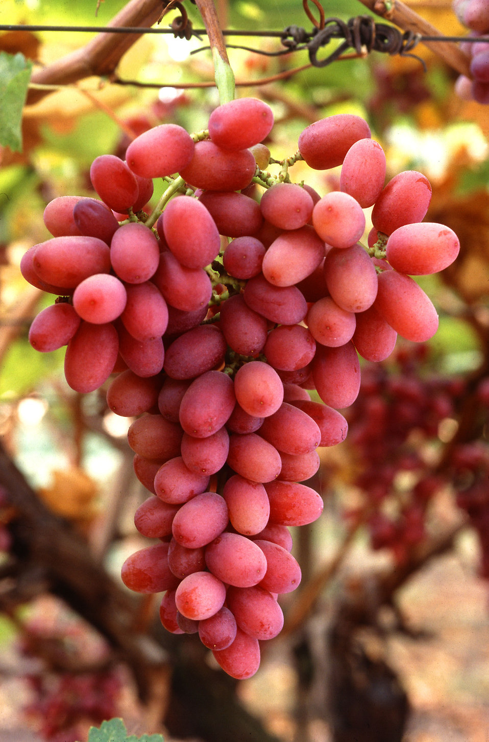 A bunch of red Crimson Seedless grapes : Free Stock Photo
