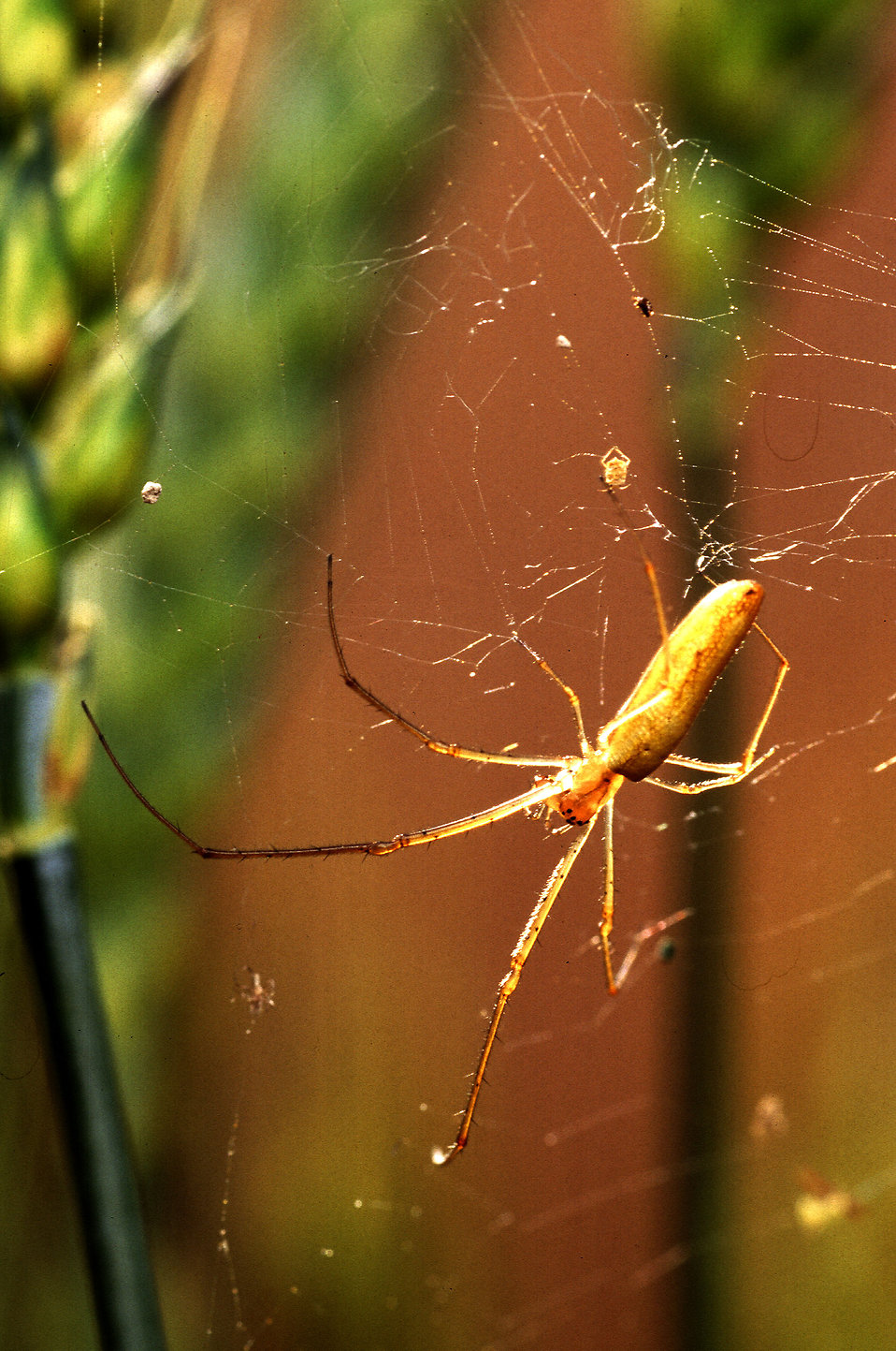 A long-jawed orb weaver spider on a web : Free Stock Photo