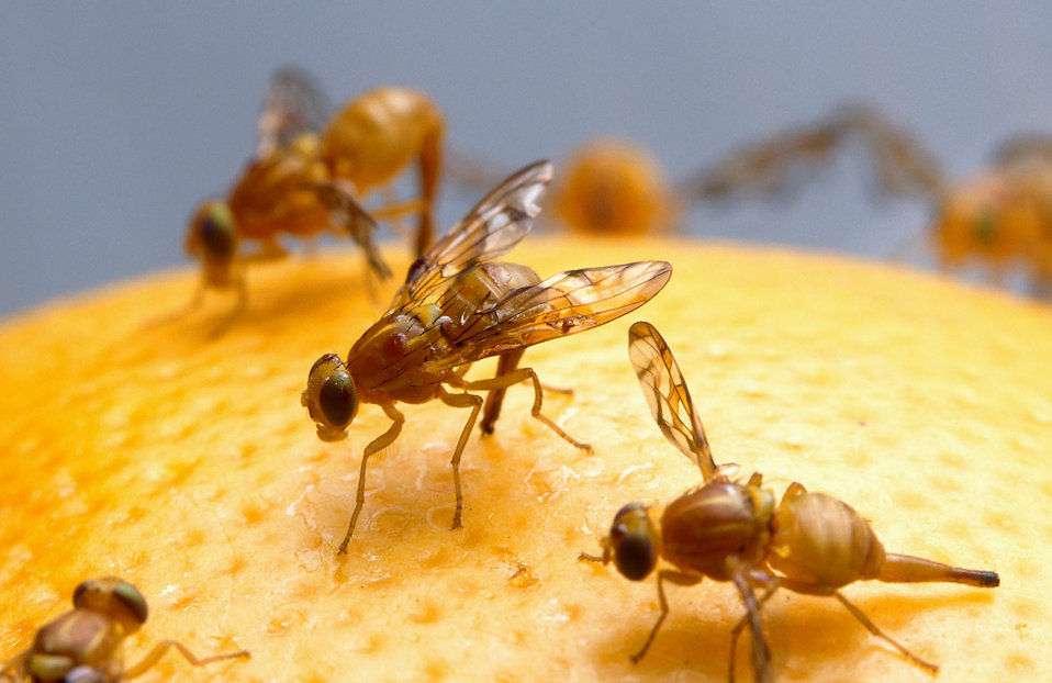 Close-up of Mexican fruit flies on a grapefruit : Free Stock Photo