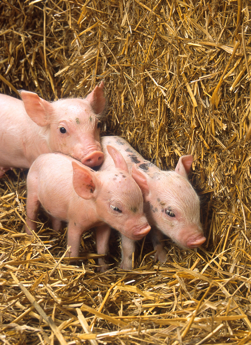 Three piglets by a bale of straw : Free Stock Photo