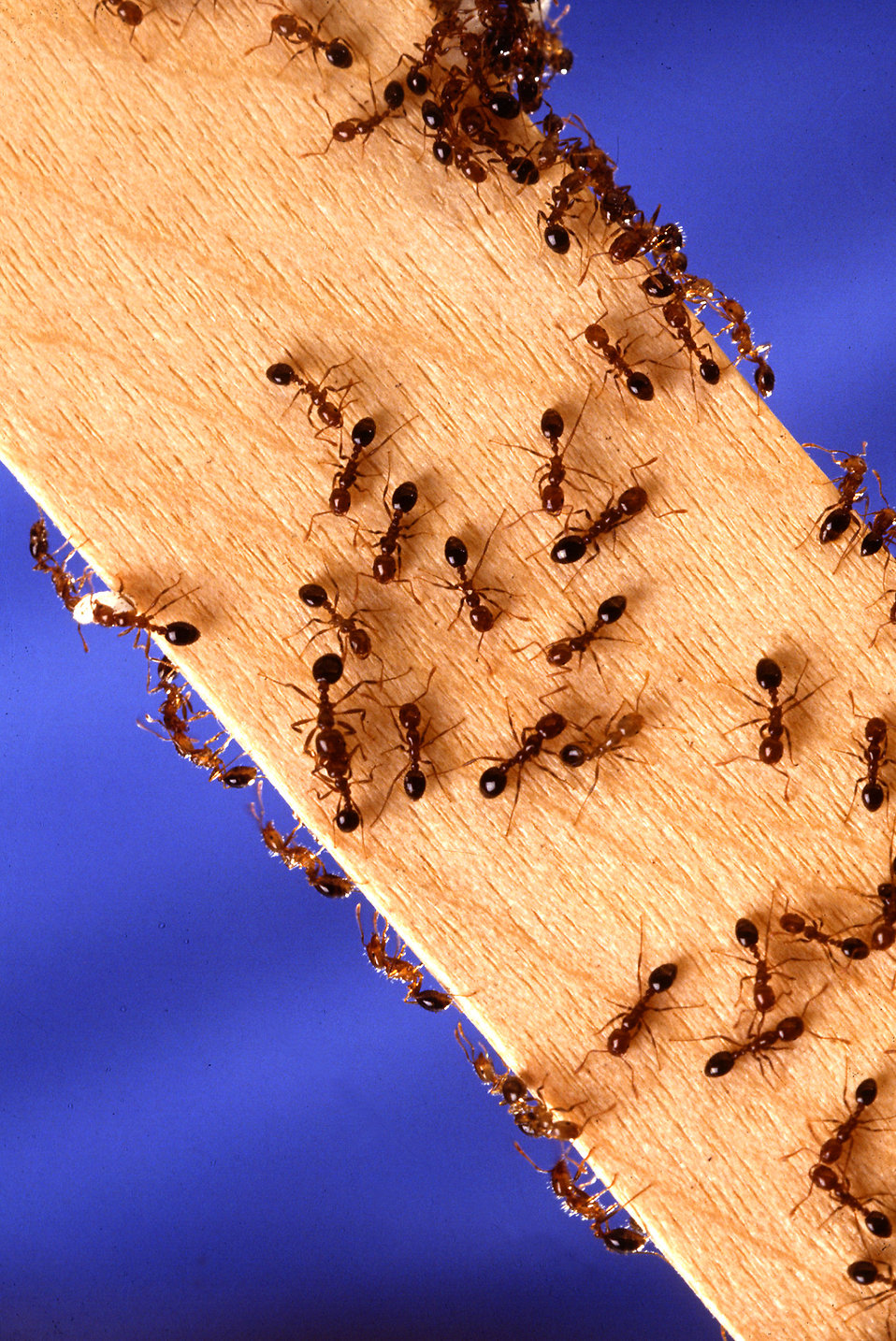 Fire ants on a wooden stick : Free Stock Photo