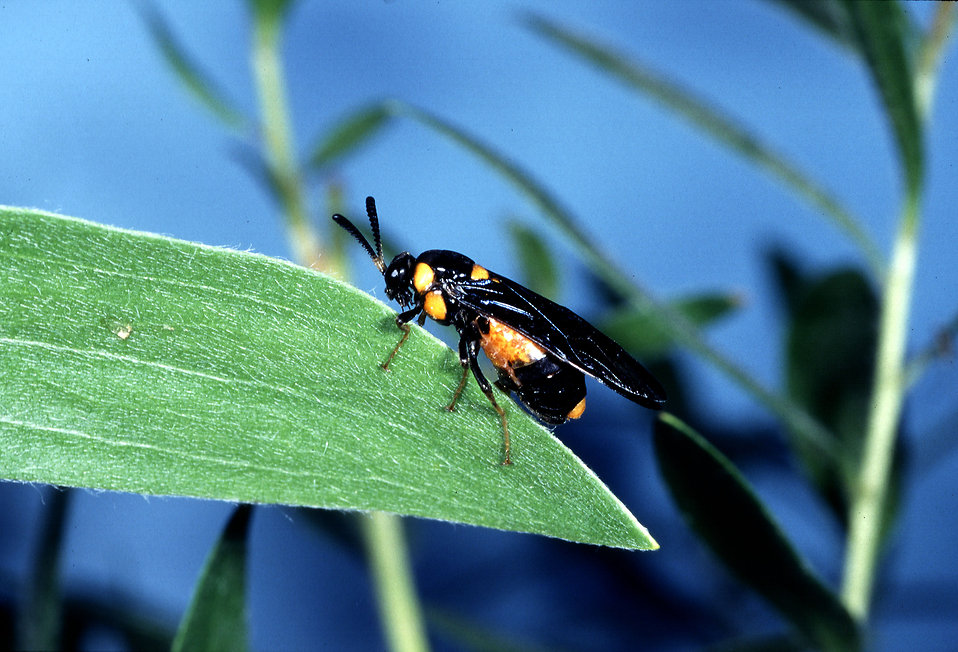 An adult melaleuca sawfly on a leaf : Free Stock Photo