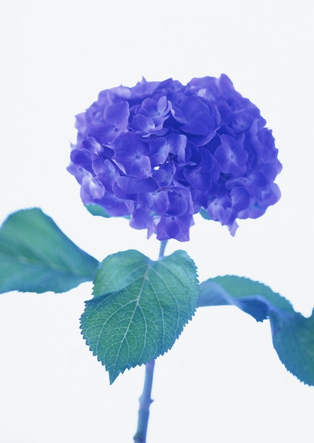 A blue flower isolated on a white background : Free Stock Photo