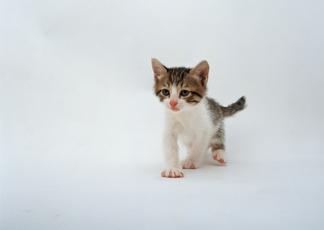A kitten isolated on a white background : Free Stock Photo