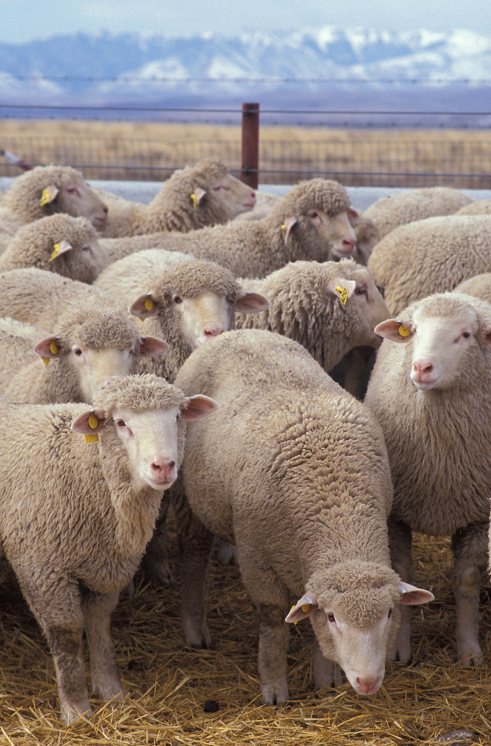 A flock of sheep : Free Stock Photo