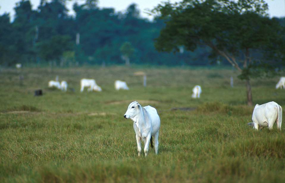 White Nelore cows in a pasture : Free Stock Photo