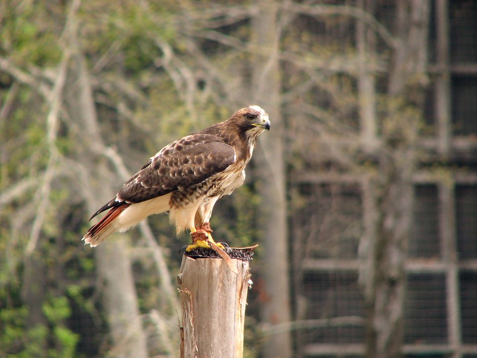 Close-up of a red-tailed hawk perched on a stump : Free Stock Photo