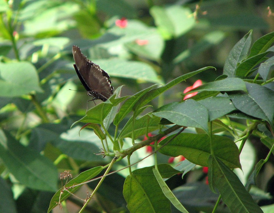 A dark colored butterfly on a green leaf : Free Stock Photo