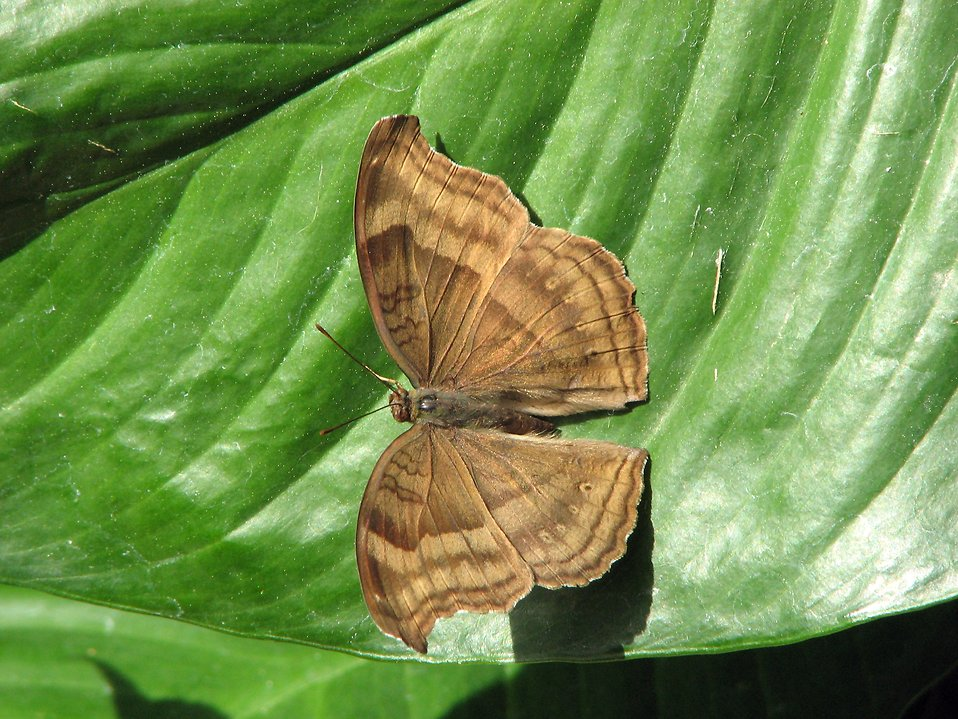 A brown butterfly on a green leaf : Free Stock Photo