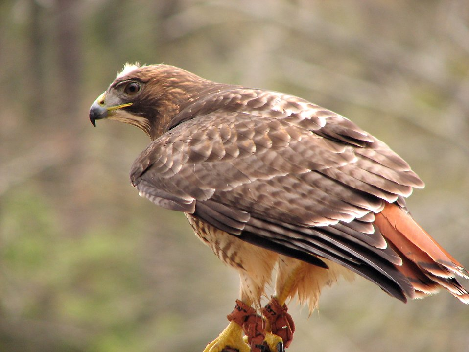 Close-up of a red-tailed hawk : Free Stock Photo