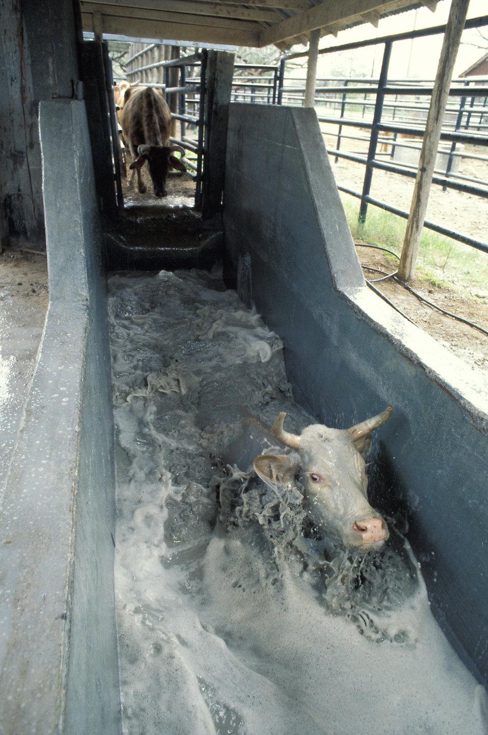 A cow in a tick treatment bath on a farm : Free Stock Photo