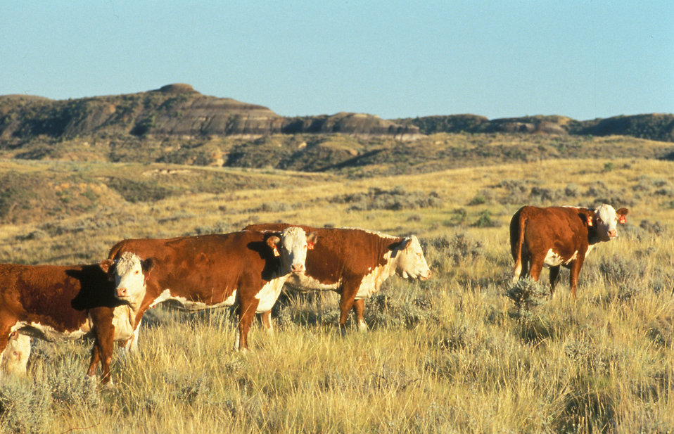Hereford cattle on a range : Free Stock Photo