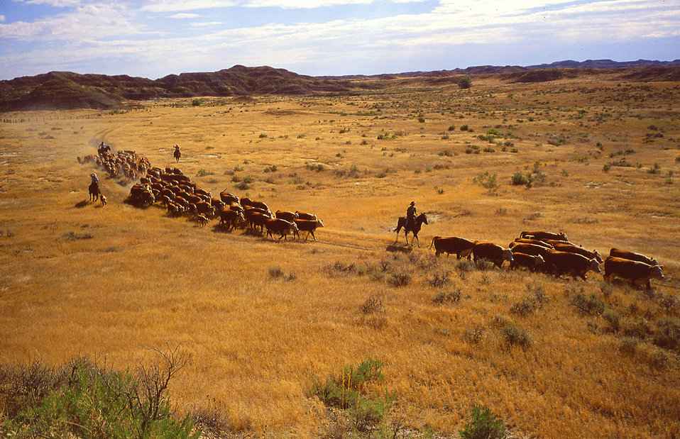 Ranchers rounding up cattle on a ranch : Free Stock Photo
