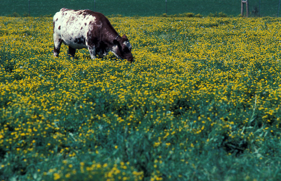 A cow grazing in a field : Free Stock Photo