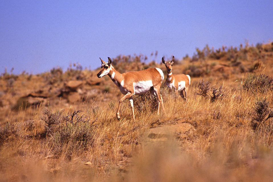 Pronghorn antelope in a field : Free Stock Photo