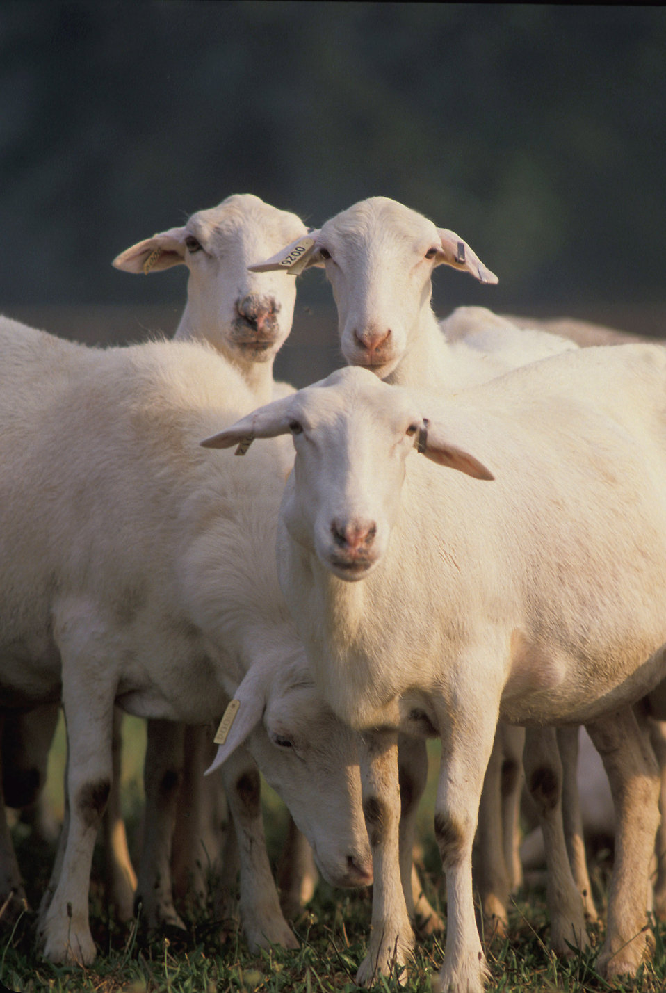 Close-up of a group of St Croix sheep : Free Stock Photo